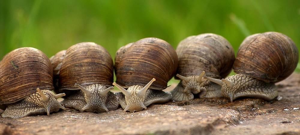 Les escargots aiment la pluie