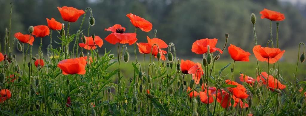 Le coquelicot est l'emblème souvenir des morts de la 1ère guerre mondiale